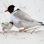 Hooded Plover -near Orford-CREDIT PAUL GRAY