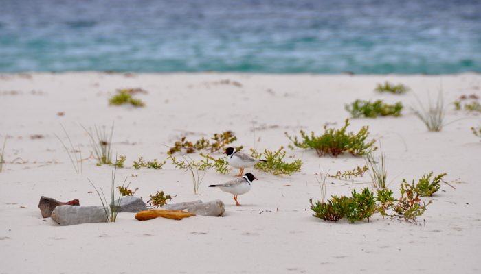 hooded plover pair LW